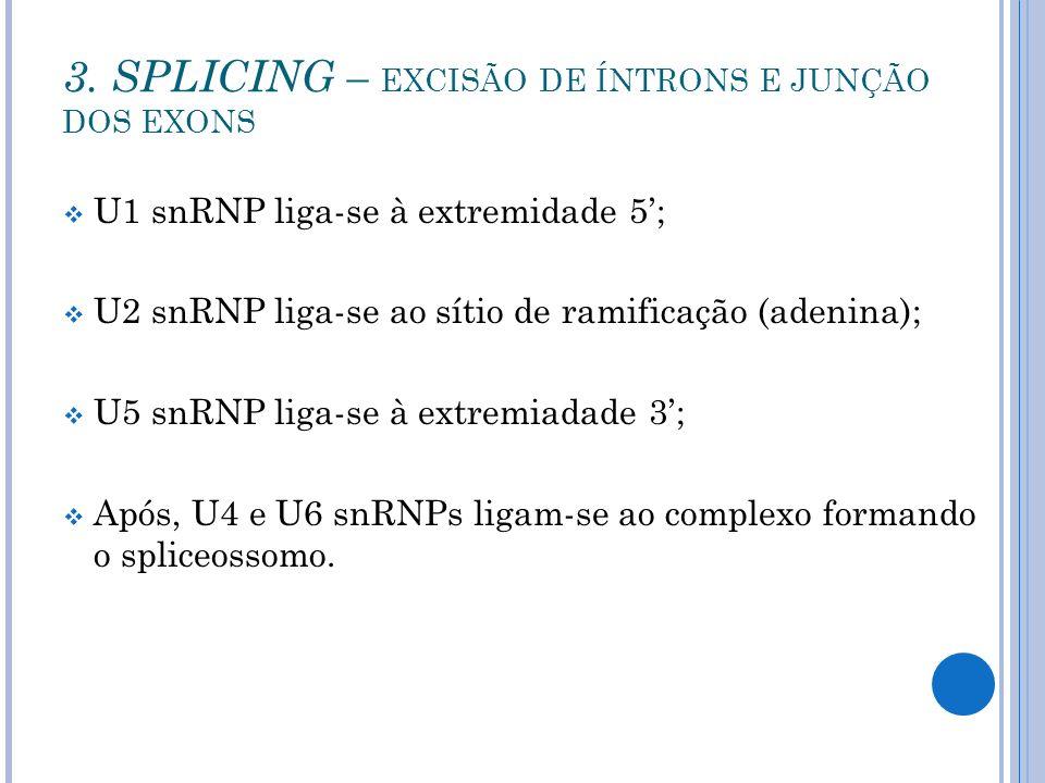 U1 snRNP liga-se à extremidade 5; U2 snRNP liga-se ao sítio de ramificação (adenina); U5 snRNP liga-se à extremiadade 3; Após, U4 e U6 snRNPs ligam-se