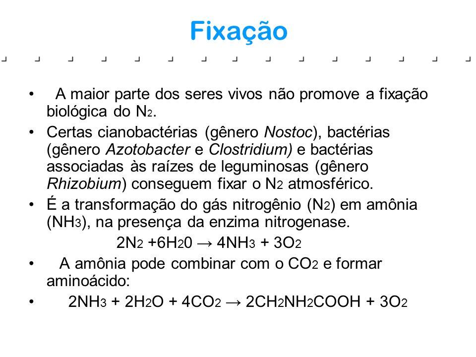 Fixação A maior parte dos seres vivos não promove a fixação biológica do N 2. Certas cianobactérias (gênero Nostoc), bactérias (gênero Azotobacter e C