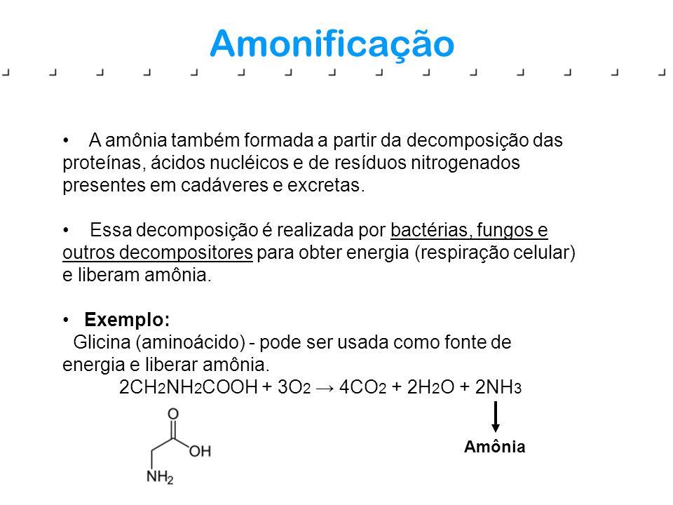 Amonificação A amônia também formada a partir da decomposição das proteínas, ácidos nucléicos e de resíduos nitrogenados presentes em cadáveres e excr