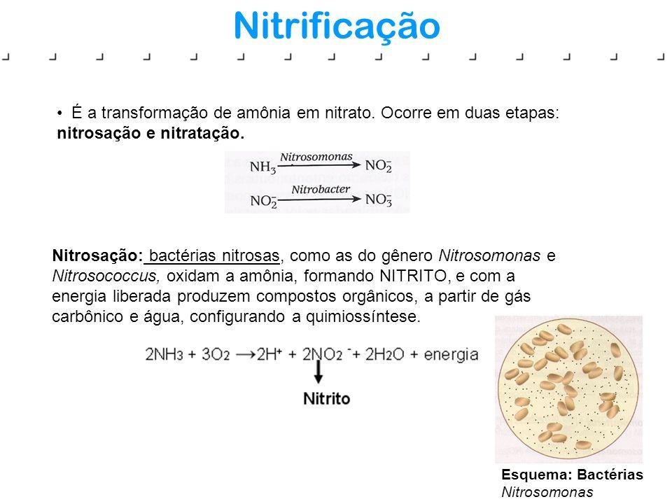 Nitrificação É a transformação de amônia em nitrato. Ocorre em duas etapas: nitrosação e nitratação. Nitrosação: bactérias nitrosas, como as do gênero