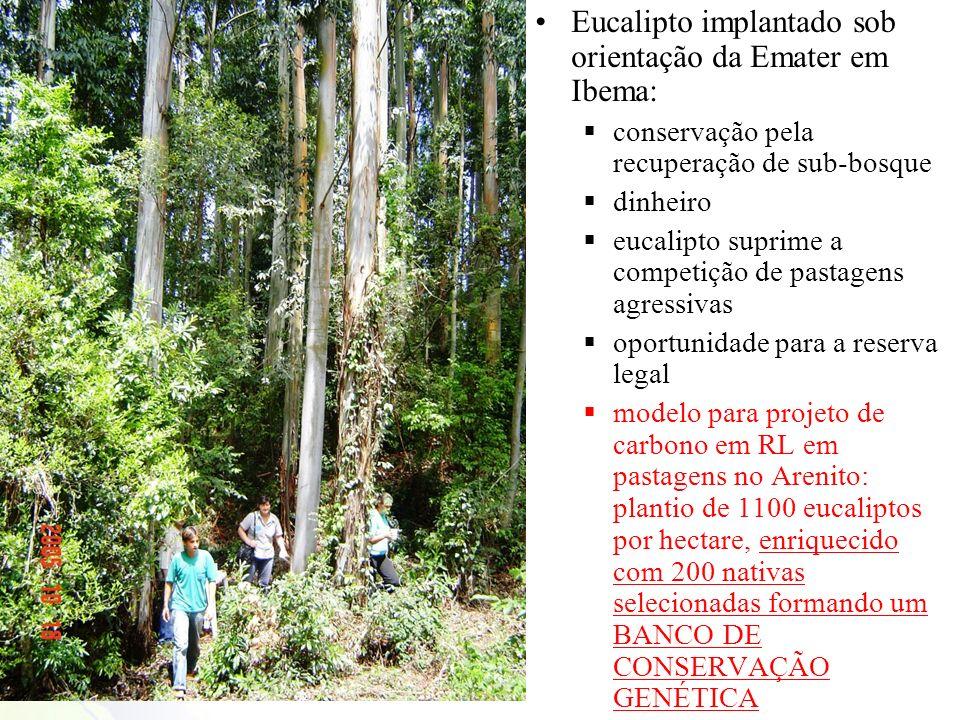 Eucalipto implantado sob orientação da Emater em Ibema: conservação pela recuperação de sub-bosque dinheiro eucalipto suprime a competição de pastagen