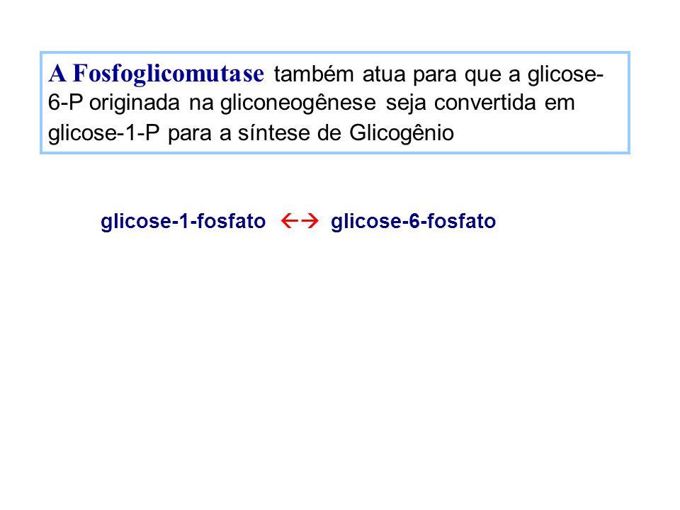 A Fosfoglicomutase também atua para que a glicose- 6-P originada na gliconeogênese seja convertida em glicose-1-P para a síntese de Glicogênio glicose