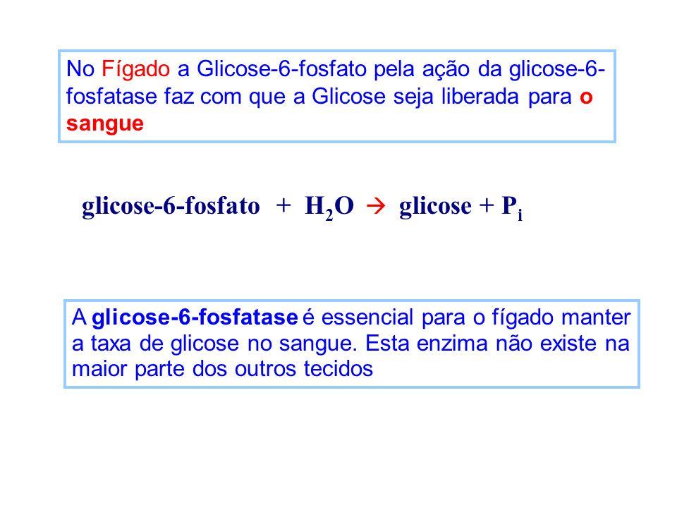 No Fígado a Glicose-6-fosfato pela ação da glicose-6- fosfatase faz com que a Glicose seja liberada para o sangue glicose-6-fosfato + H 2 O glicose +