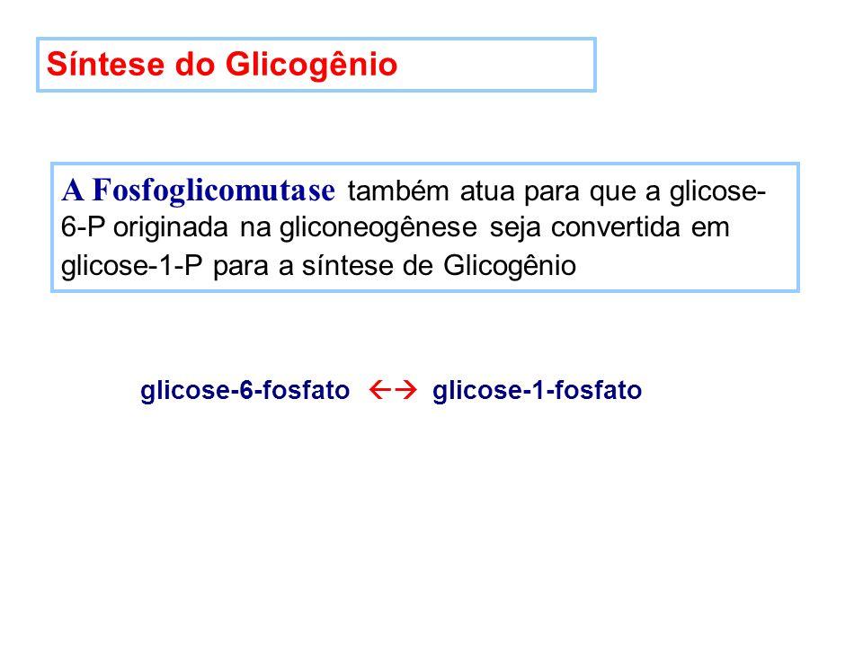 Síntese do Glicogênio A Fosfoglicomutase também atua para que a glicose- 6-P originada na gliconeogênese seja convertida em glicose-1-P para a síntese