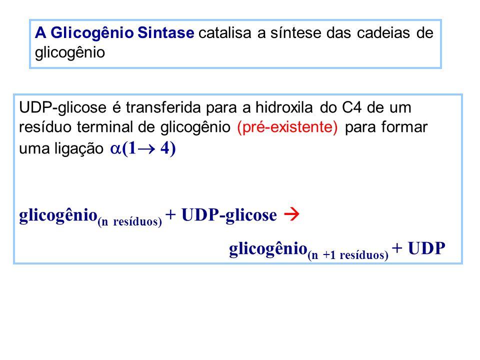 A Glicogênio Sintase catalisa a síntese das cadeias de glicogênio UDP-glicose é transferida para a hidroxila do C4 de um resíduo terminal de glicogêni