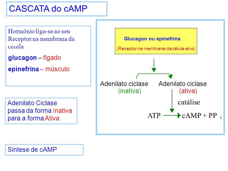 CASCATA do cAMP Hormônio liga-se ao seu Receptor na membrana da célula glucagon – fígado epinefrina – músculo Adenilato Ciclase passa da forma Inativa