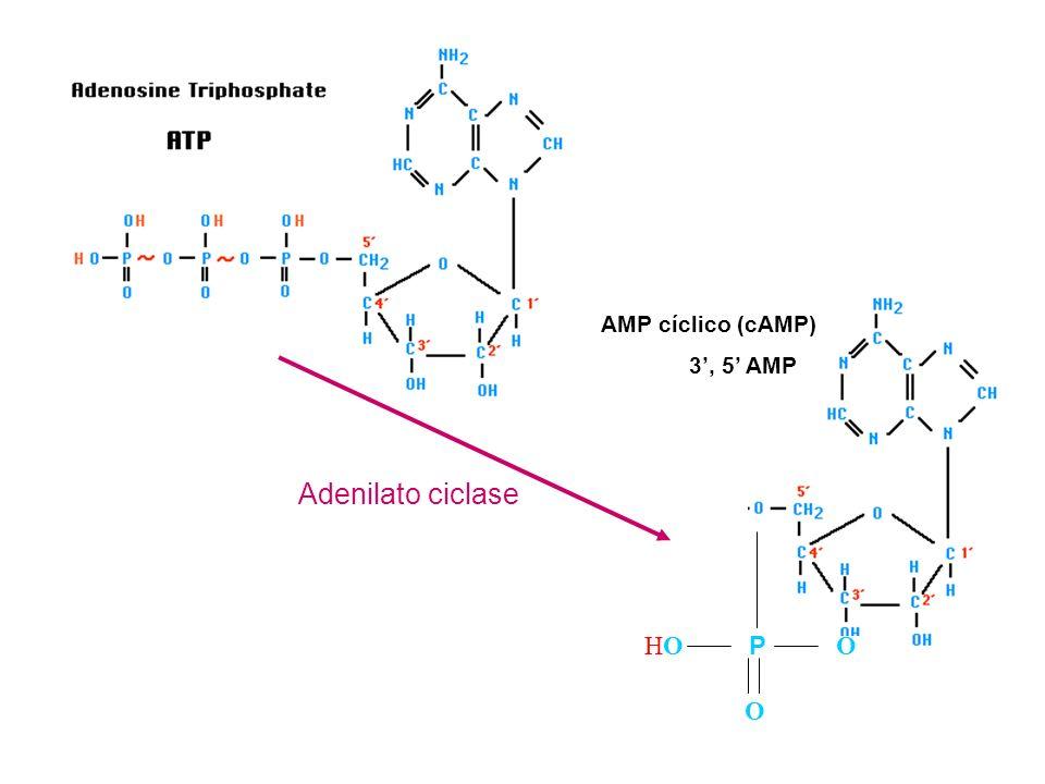 O HOHO P O AMP cíclico (cAMP) 3, 5 AMP Adenilato ciclase
