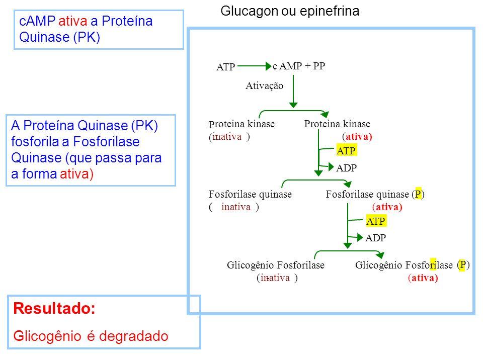 cAMP ativa a Proteína Quinase (PK) Resultado: Glicogênio é degradado A Proteína Quinase (PK) fosforila a Fosforilase Quinase (que passa para a forma a