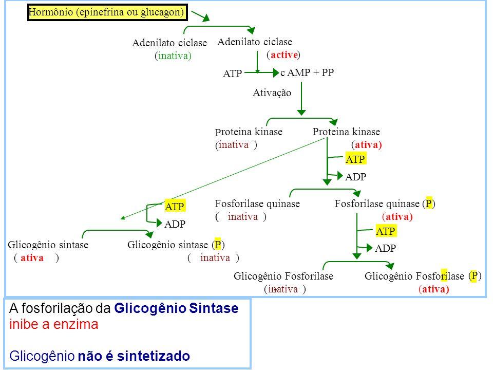 A fosforilação da Glicogênio Sintase inibe a enzima Glicogênio não é sintetizado ATP P ( ( c AMP + PP Ativação roteina kinase Proteina kinase inativa)