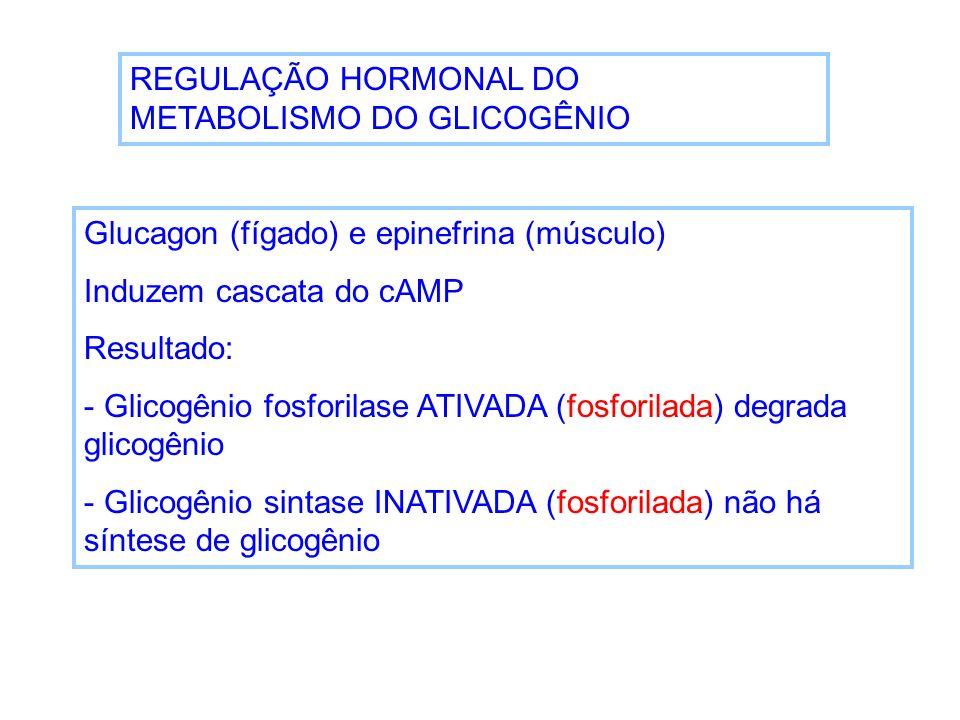 REGULAÇÃO HORMONAL DO METABOLISMO DO GLICOGÊNIO Glucagon (fígado) e epinefrina (músculo) Induzem cascata do cAMP Resultado: - Glicogênio fosforilase A