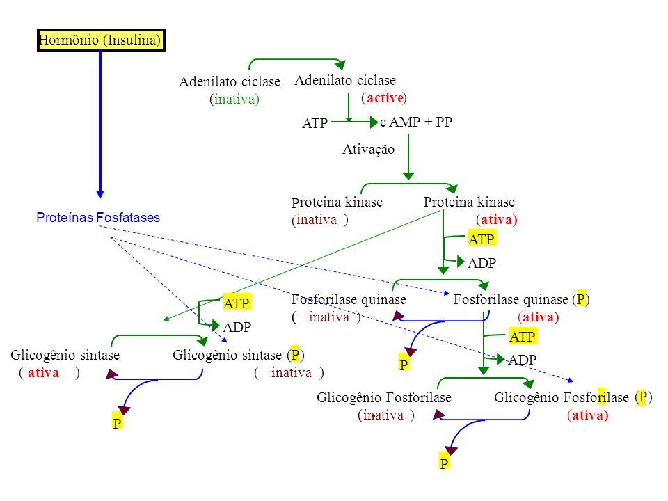 ATP P ( ( c AMP + PP Ativação roteina kinase Proteina kinase inativa) (ativa) ATP ADP Fosforilase quinase (P) (inativa) (ativa) ATP ADP Glicogênio Fos