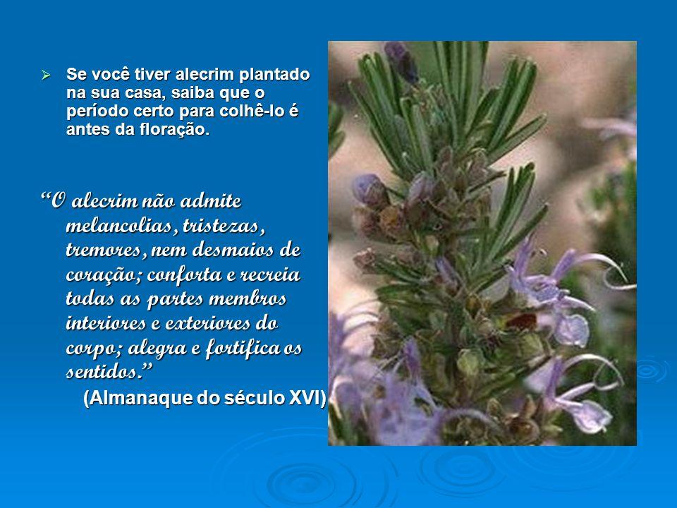 Se você tiver alecrim plantado na sua casa, saiba que o período certo para colhê-lo é antes da floração. Se você tiver alecrim plantado na sua casa, s