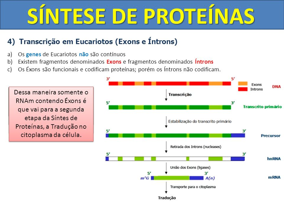 SÍNTESE DE PROTEÍNAS 4) Transcrição em Eucariotos (Exons e Íntrons) a)Os genes de Eucariotos não são contínuos b)Existem fragmentos denominados Exons