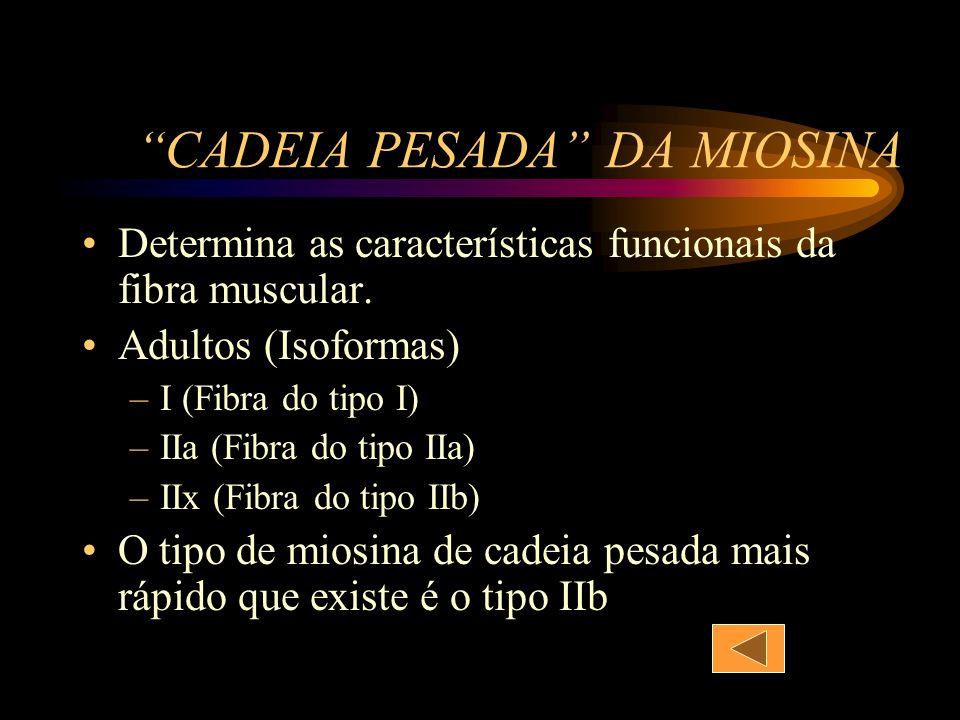 CADEIA PESADA DA MIOSINA Determina as características funcionais da fibra muscular. Adultos (Isoformas) –I (Fibra do tipo I) –IIa (Fibra do tipo IIa)