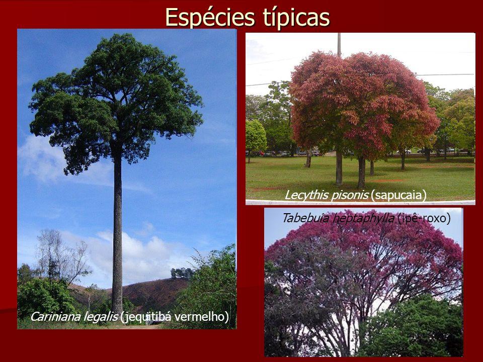 Espécies típicas Cariniana legalis (jequitibá vermelho) Lecythis pisonis (sapucaia) Tabebuia heptaphylla (ipê-roxo)
