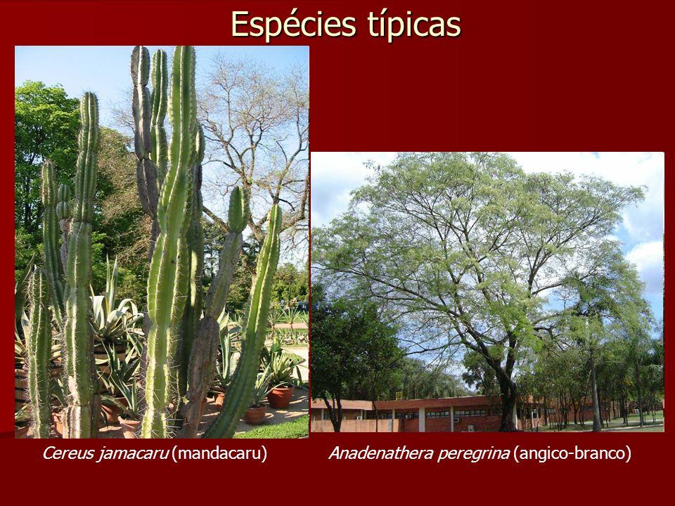 Espécies típicas Cereus jamacaru (mandacaru)Anadenathera peregrina (angico-branco)
