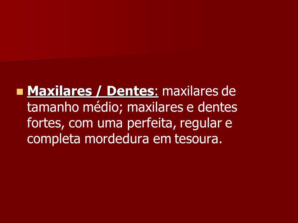 Maxilares/ Dentes: Maxilares / Dentes: maxilares de tamanho médio; maxilares e dentes fortes, com uma perfeita, regular e completa mordedura em tesour