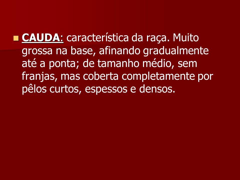 CAUDA: CAUDA: característica da raça. Muito grossa na base, afinando gradualmente até a ponta; de tamanho médio, sem franjas, mas coberta completament