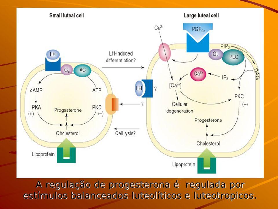 A regulação de progesterona é regulada por estímulos balanceados luteolíticos e luteotropicos.