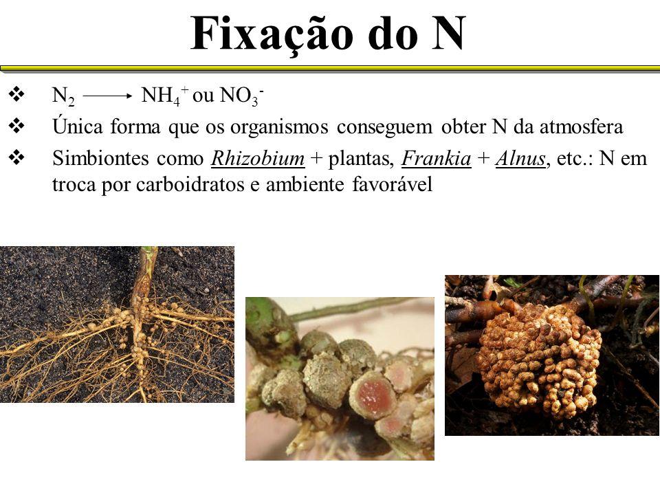 Fixação do N N 2 NH 4 + ou NO 3 - Única forma que os organismos conseguem obter N da atmosfera Simbiontes como Rhizobium + plantas, Frankia + Alnus, e