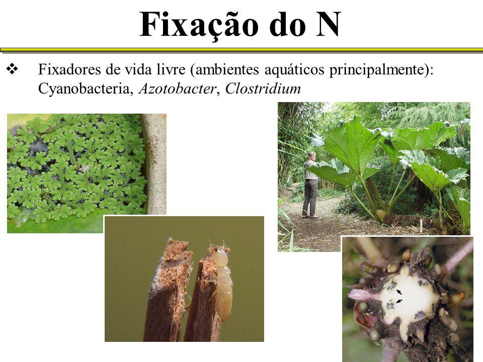 Fixação do N Fixadores de vida livre (ambientes aquáticos principalmente): Cyanobacteria, Azotobacter, Clostridium
