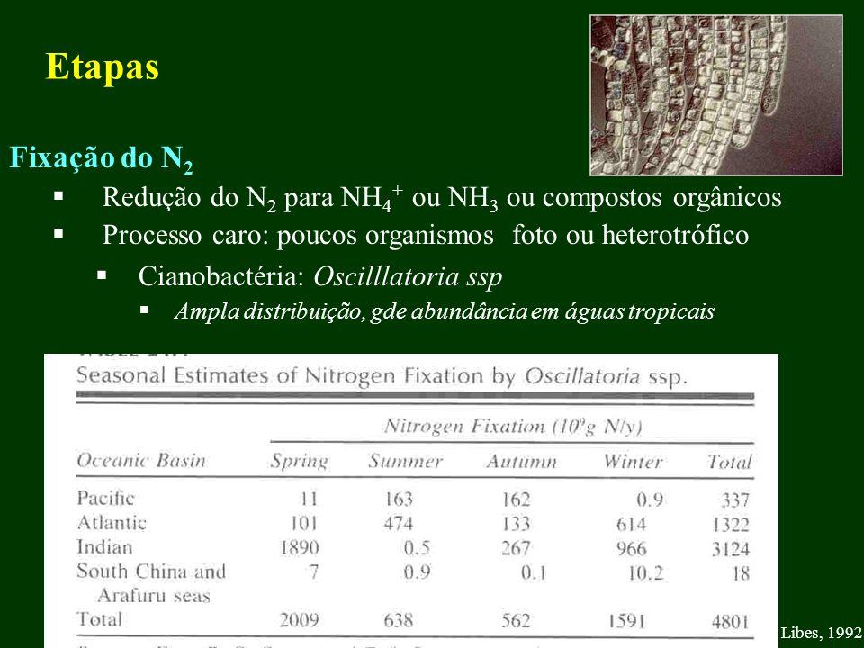 Etapas Fixação do N 2 Redução do N 2 para NH 4 + ou NH 3 ou compostos orgânicos Processo caro: poucos organismos foto ou heterotrófico Cianobactéria: