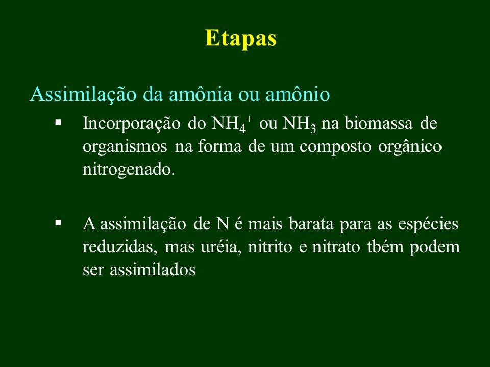 Etapas Assimilação da amônia ou amônio Incorporação do NH 4 + ou NH 3 na biomassa de organismos na forma de um composto orgânico nitrogenado. A assimi