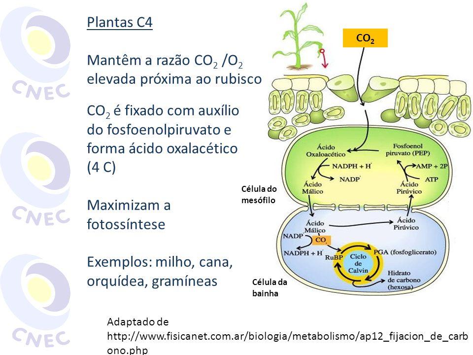 Plantas C4 Mantêm a razão CO 2 /O 2 elevada próxima ao rubisco CO 2 é fixado com auxílio do fosfoenolpiruvato e forma ácido oxalacético (4 C) Maximiza