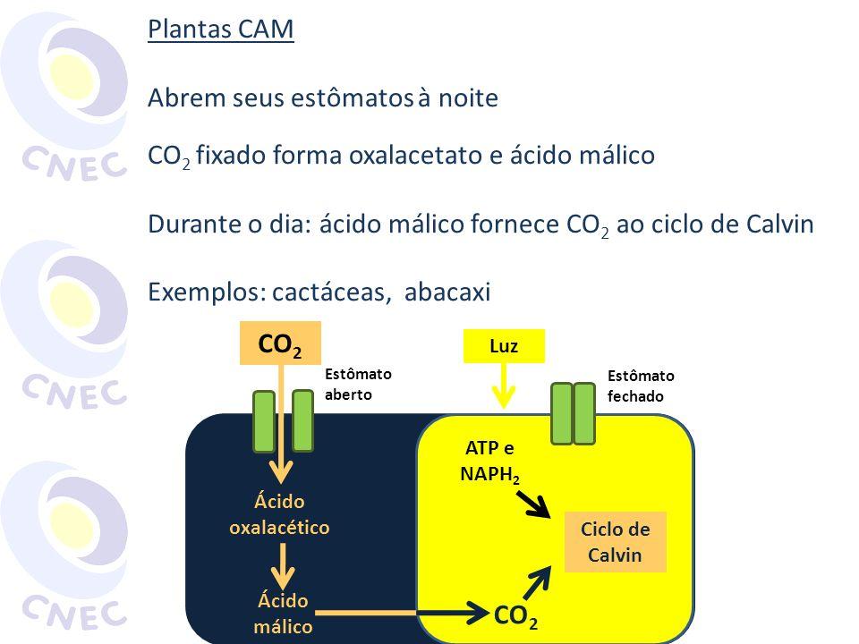 Plantas CAM Abrem seus estômatos à noite CO 2 fixado forma oxalacetato e ácido málico Durante o dia: ácido málico fornece CO 2 ao ciclo de Calvin Exem