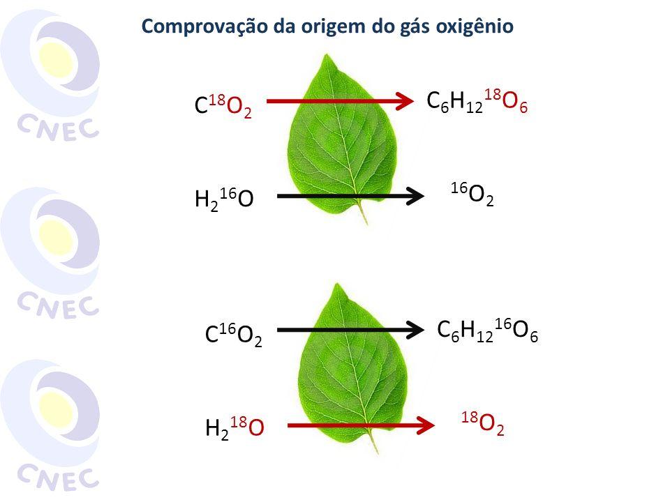 Comprovação da origem do gás oxigênio C 16 O 2 H 2 18 O C 6 H 12 16 O 6 18 O 2 C 18 O 2 H 2 16 O C 6 H 12 18 O 6 16 O 2