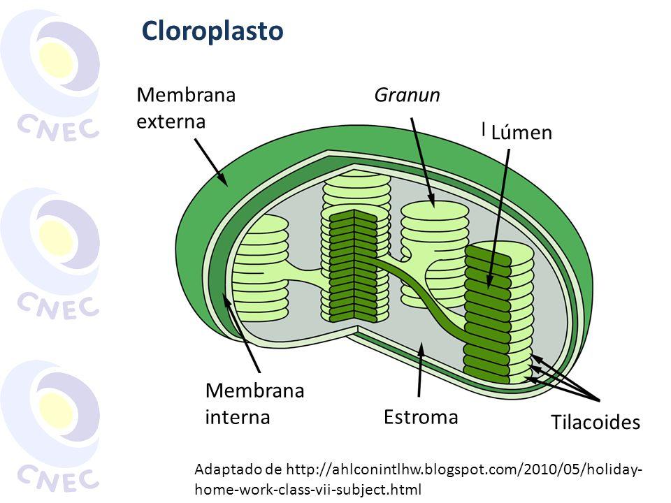 Cloroplasto Membrana externa Granun Tilacoides Lúmen Estroma Membrana interna Adaptado de http://ahlconintlhw.blogspot.com/2010/05/holiday- home-work-