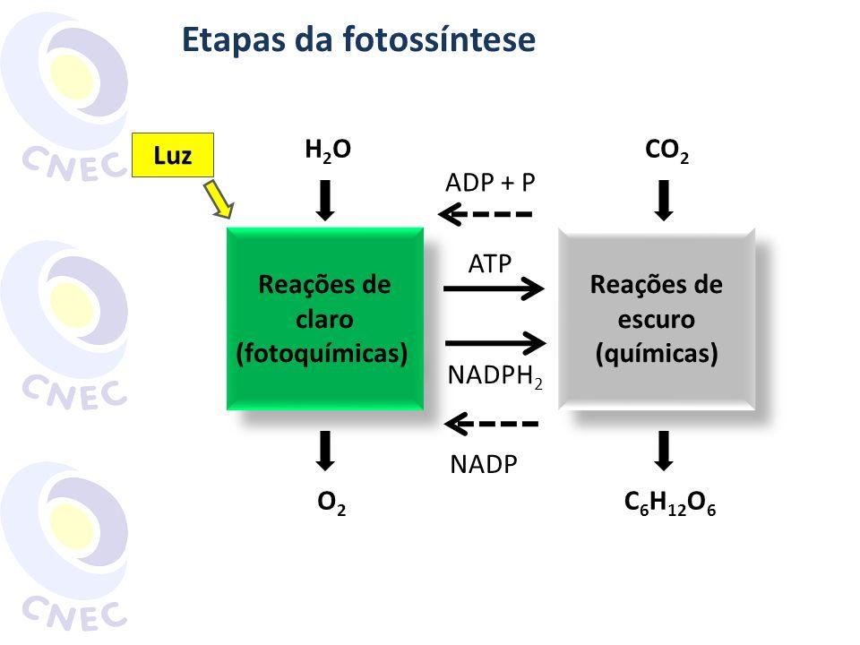 Etapas da fotossíntese Reações de claro (fotoquímicas) Reações de claro (fotoquímicas) Reações de escuro (químicas) Reações de escuro (químicas) H2OH2