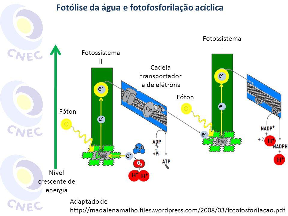 Fotólise da água e fotofosforilação acíclica e-e- e-e- e-e- e-e- Fotossistema II Fotossistema I Fóton e-e- e-e- H+H+ H+H+ H+H+ H+H+ Cadeia transportad