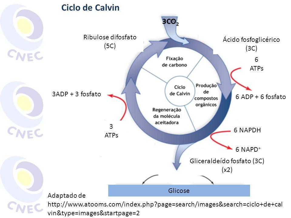 Ribulose difosfato (5C) Ácido fosfoglicérico (3C) 6 ADP + 6 fosfato 6 NAPDH 6 NAPD + Gliceraldeído fosfato (3C) (x2) Glicose 3ADP + 3 fosfato 6 ATPs 3