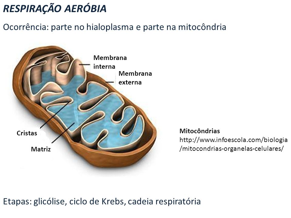 RESPIRAÇÃO AERÓBIA Ocorrência: parte no hialoplasma e parte na mitocôndria Etapas: glicólise, ciclo de Krebs, cadeia respiratória Membrana interna Mem