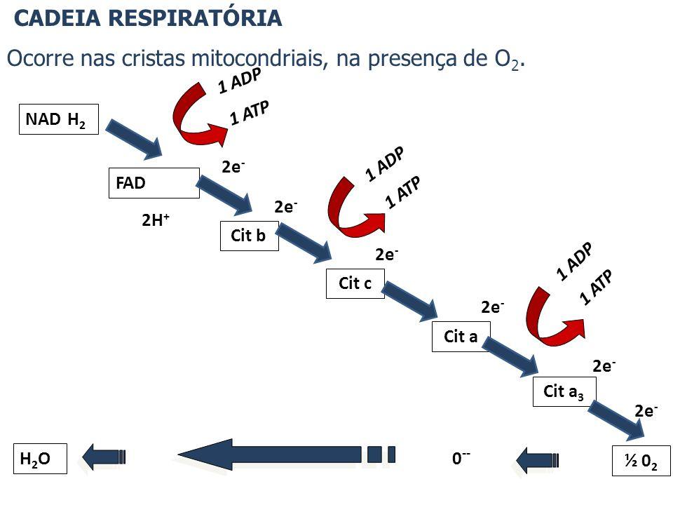 CADEIA RESPIRATÓRIA Ocorre nas cristas mitocondriais, na presença de O 2. NAD FAD Cit a Cit a 3 ½ 0 2 Cit c Cit b 1 ADP 1 ATP 1 ADP 1 ATP 1 ADP 1 ATP