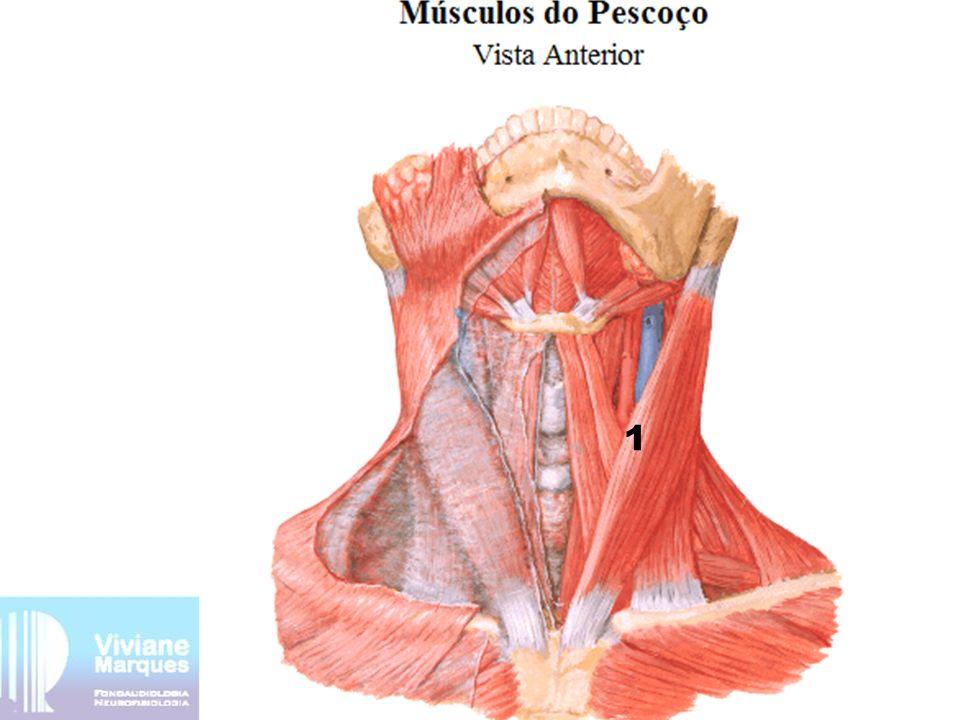 Músculos do pescoço 1-Músculo esternocleidoccipitomastóide (ECOM) inserção proximal: parte posterior do manúbrio e terço médio da escápula inserção distal: processo mastóide e linha nucal superior função: flexão e rotação da cabeça inervação: nervo acessório