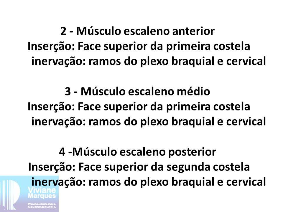 2 - Músculo escaleno anterior Inserção: Face superior da primeira costela inervação: ramos do plexo braquial e cervical 3 - Músculo escaleno médio Ins