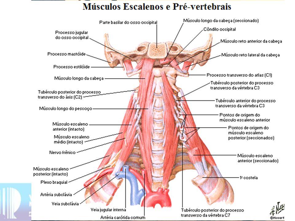 5 - Músculo longo da cabeça função: flexão da cabeça inervação: plexo cervical 6 - Músculo longo do pescoço (fascículo vertical, oblíquo superior e inferior) função: flexiona a coluna cervical inervação: plexo cervical