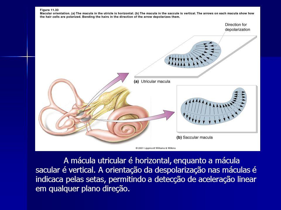 A mácula utricular é horizontal, enquanto a mácula sacular é vertical. A orientação da despolarização nas máculas é indicaca pelas setas, permitindo a