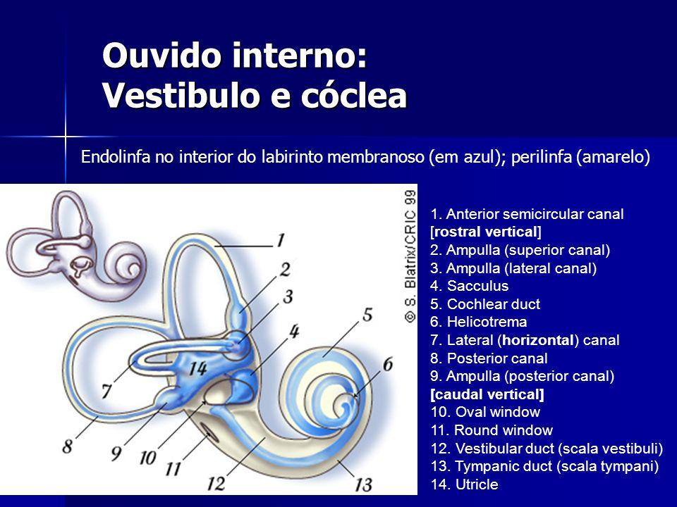 Ouvido interno: Vestibulo e cóclea 1. Anterior semicircular canal [rostral vertical] 2. Ampulla (superior canal) 3. Ampulla (lateral canal) 4. Sacculu