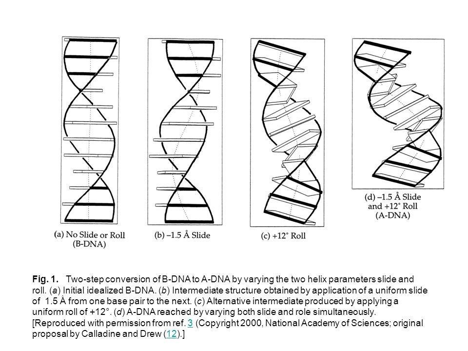 Fig. 1. Two-step conversion of B-DNA to A-DNA by varying the two helix parameters slide and roll. (a) Initial idealized B-DNA. (b) Intermediate struct
