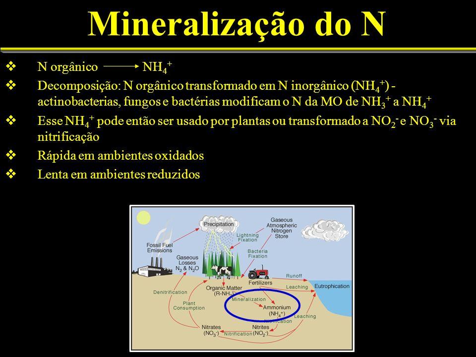Mineralização do N N orgânico NH 4 + Decomposição: N orgânico transformado em N inorgânico (NH 4 + ) - actinobacterias, fungos e bactérias modificam o