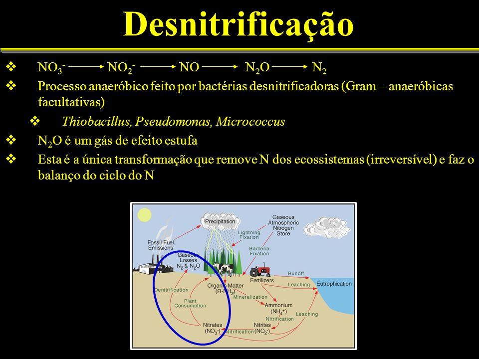 Desnitrificação NO 3 - NO 2 - NO N 2 O N 2 Processo anaeróbico feito por bactérias desnitrificadoras (Gram – anaeróbicas facultativas) Thiobacillus, P