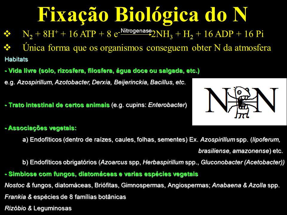 Fixação Biológica do N N 2 + 8H + + 16 ATP + 8 e - 2NH 3 + H 2 + 16 ADP + 16 Pi Única forma que os organismos conseguem obter N da atmosfera Nitrogena