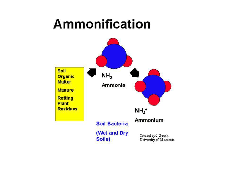 Produção de DON (decomposição das plantas) Fungos e bactérias excretam enzimas extracelulares Quebra de polímeros complexos em moléculas solúveis em água (aminoácidos, nucelotídeos) Ciclagem interna do N