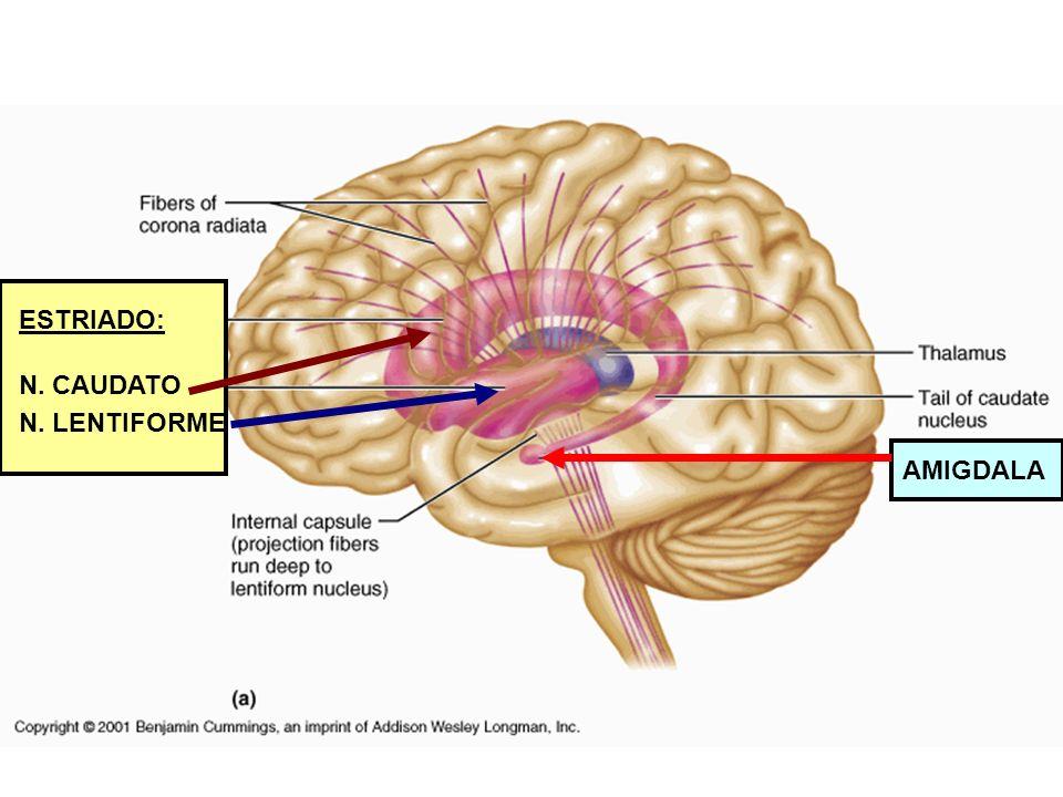 Giro do cíngulo -O giro do cíngulo é a parte do cérebro que está mais próxima ao sistema límbico, logo acima do corpo caloso -Ele é uma via de informações do tálamo pa- ra o hipocampo e parece ser o responsável pela fo- calização da atenção em eventos emocionalmente significantes e pela associação de memórias a odores e/ou dor.