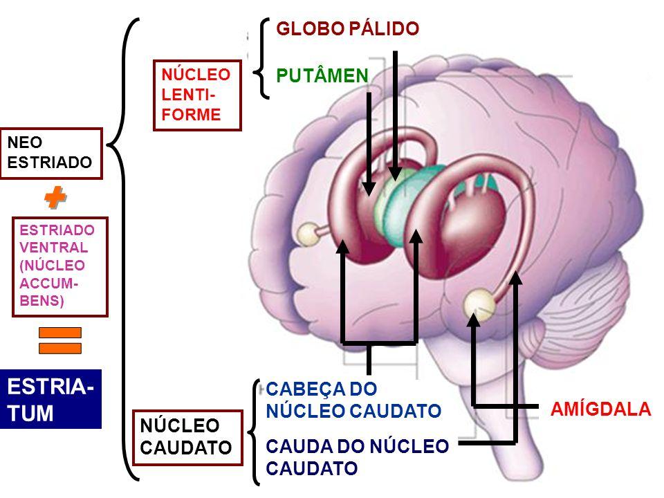 PUTÂMEN GLOBO PÁLIDO CABEÇA DO NÚCLEO CAUDATO CAUDA DO NÚCLEO CAUDATO AMÍGDALA NÚCLEO LENTI- FORME NEO ESTRIADO VENTRAL (NÚCLEO ACCUM- BENS) NÚCLEO CA