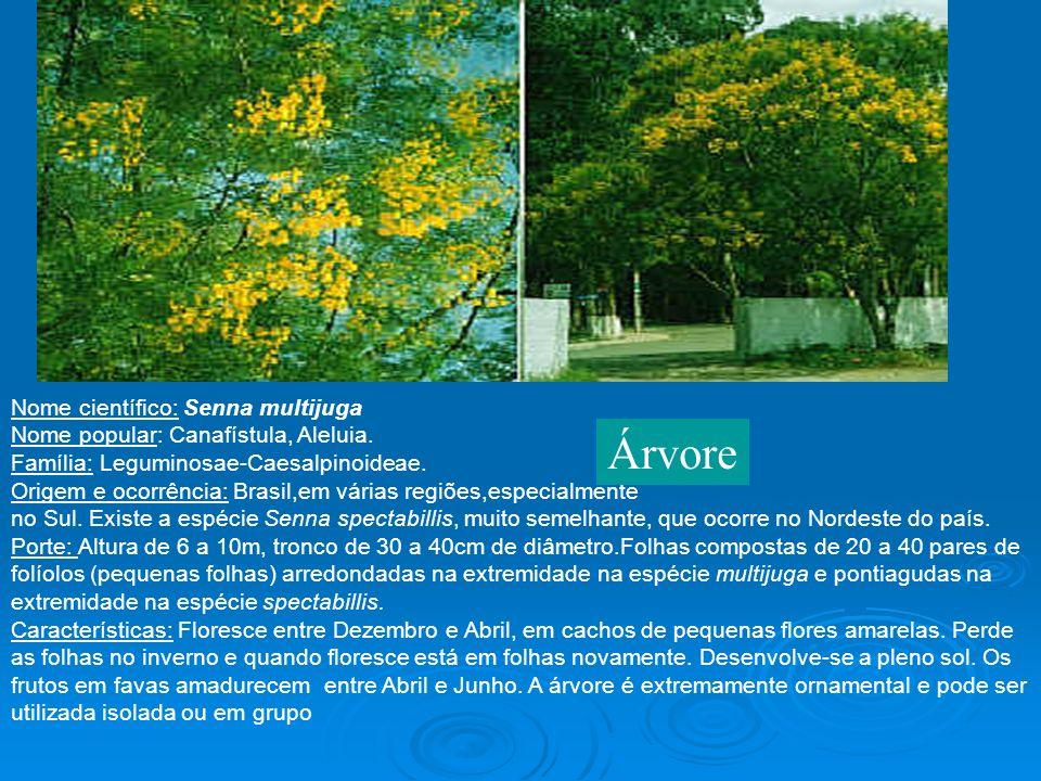 Nome científico: Senna multijuga Nome popular: Canafístula, Aleluia. Família: Leguminosae-Caesalpinoideae. Origem e ocorrência: Brasil,em várias regiõ