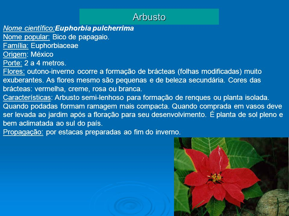 Arbusto Nome científico:Euphorbia pulcherrima Nome popular: Bico de papagaio. Família: Euphorbiaceae Origem: México Porte: 2 a 4 metros. Flores: outon
